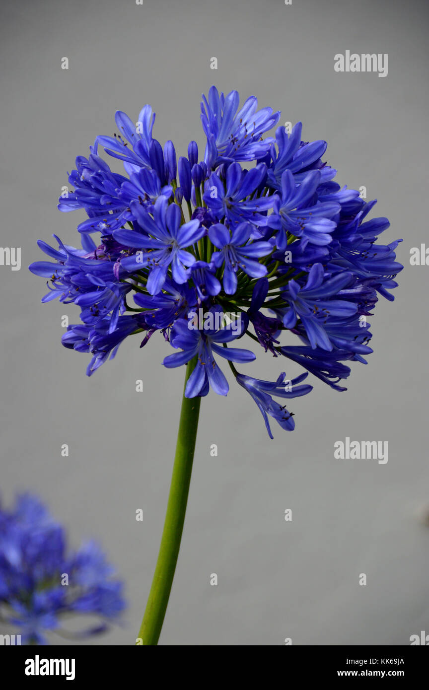 Single Blue Agapanthus Flower Lily Of The Nile In A Garden In Hugh