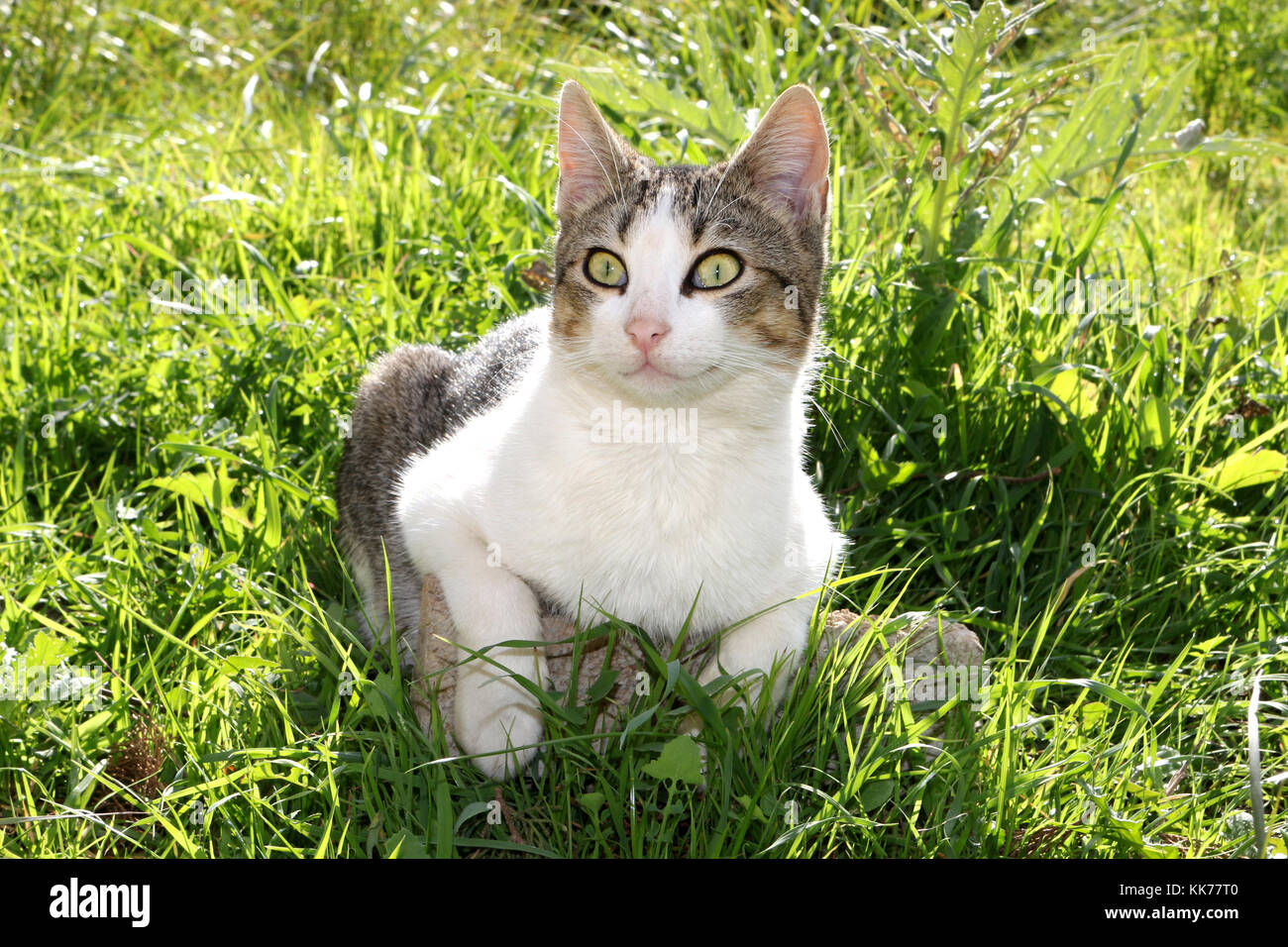 domestic cat, black tabby white, lying on a green meadow Stock Photo ...