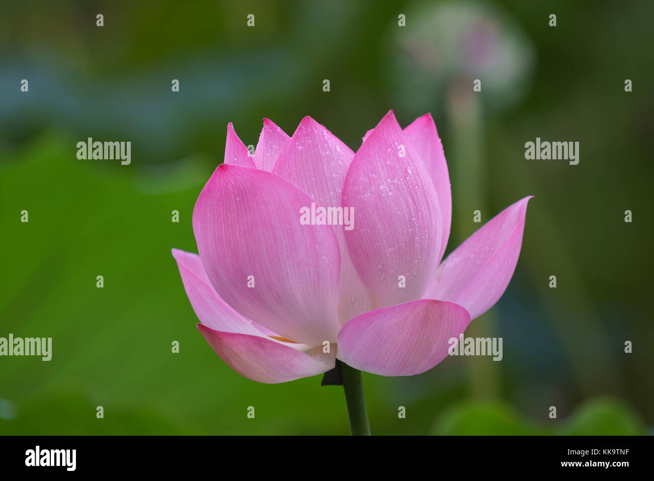 Beautiful lotus flower blooms in the pond china stock photo beautiful lotus flower blooms in the pond china izmirmasajfo