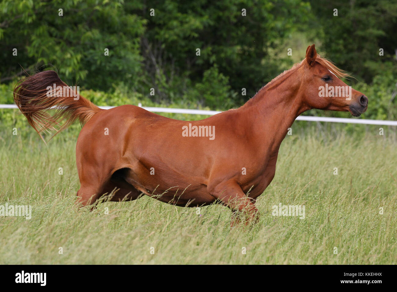 Chestnut Mare Stock Photos & Chestnut Mare Stock Images ... - photo#37
