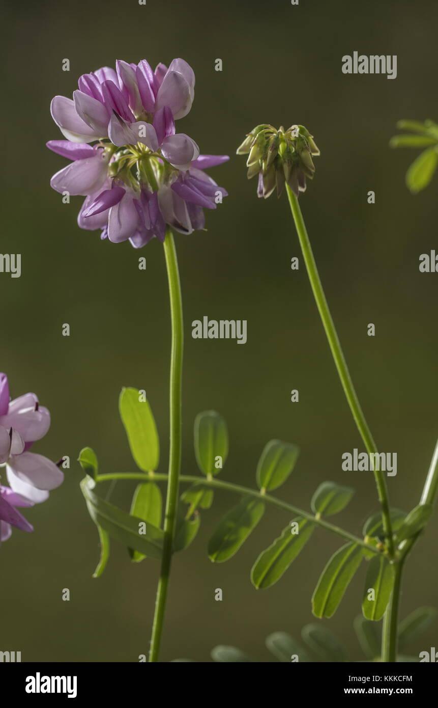 Crown vetch securigera varia in flower naturalised in uk stock crown vetch securigera varia in flower naturalised in uk izmirmasajfo