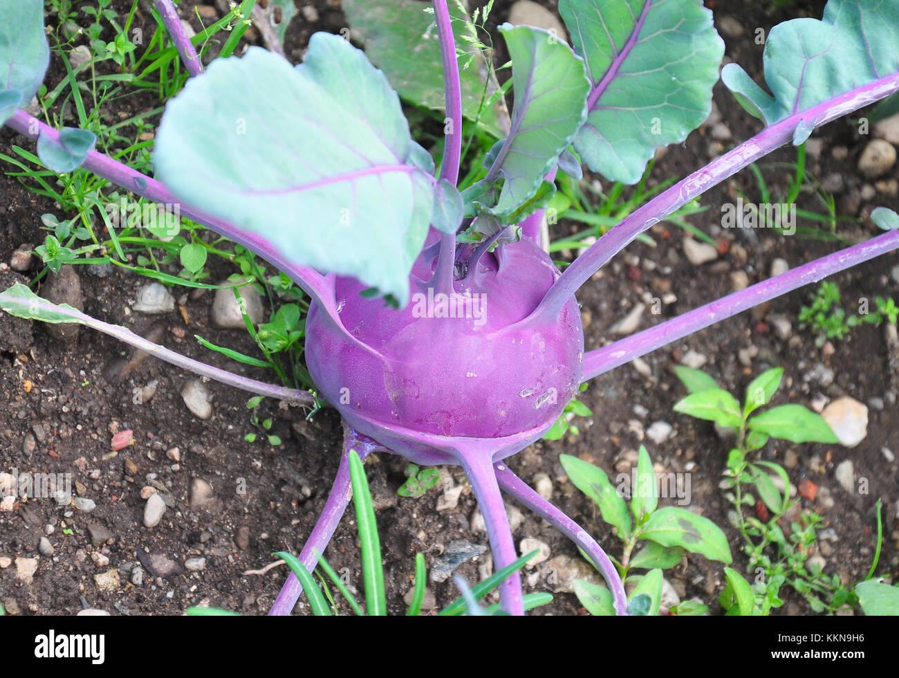 Kohlrabi plant