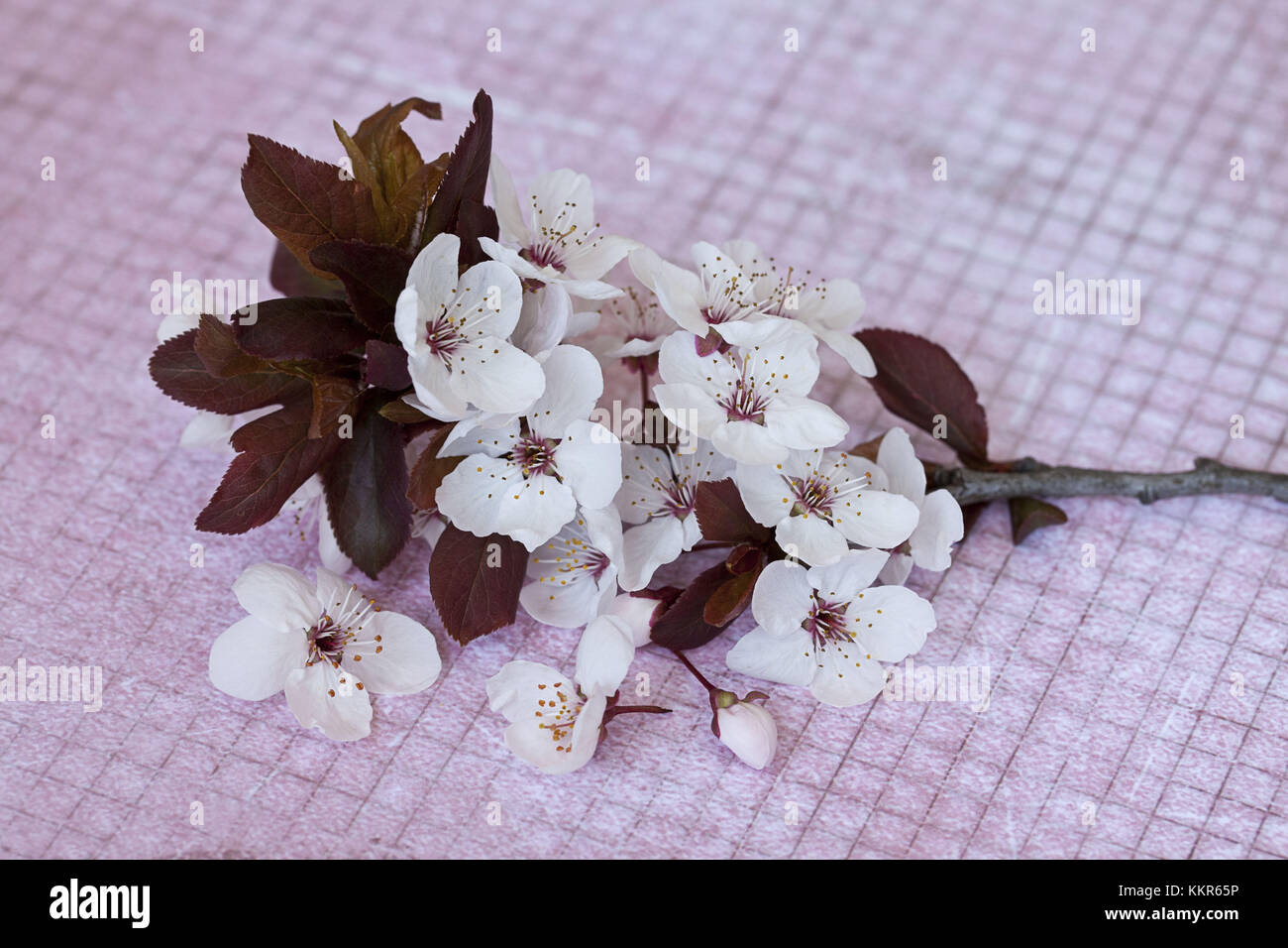 Branch With Cherry Flowers On Pink Underground Close Up Still Life