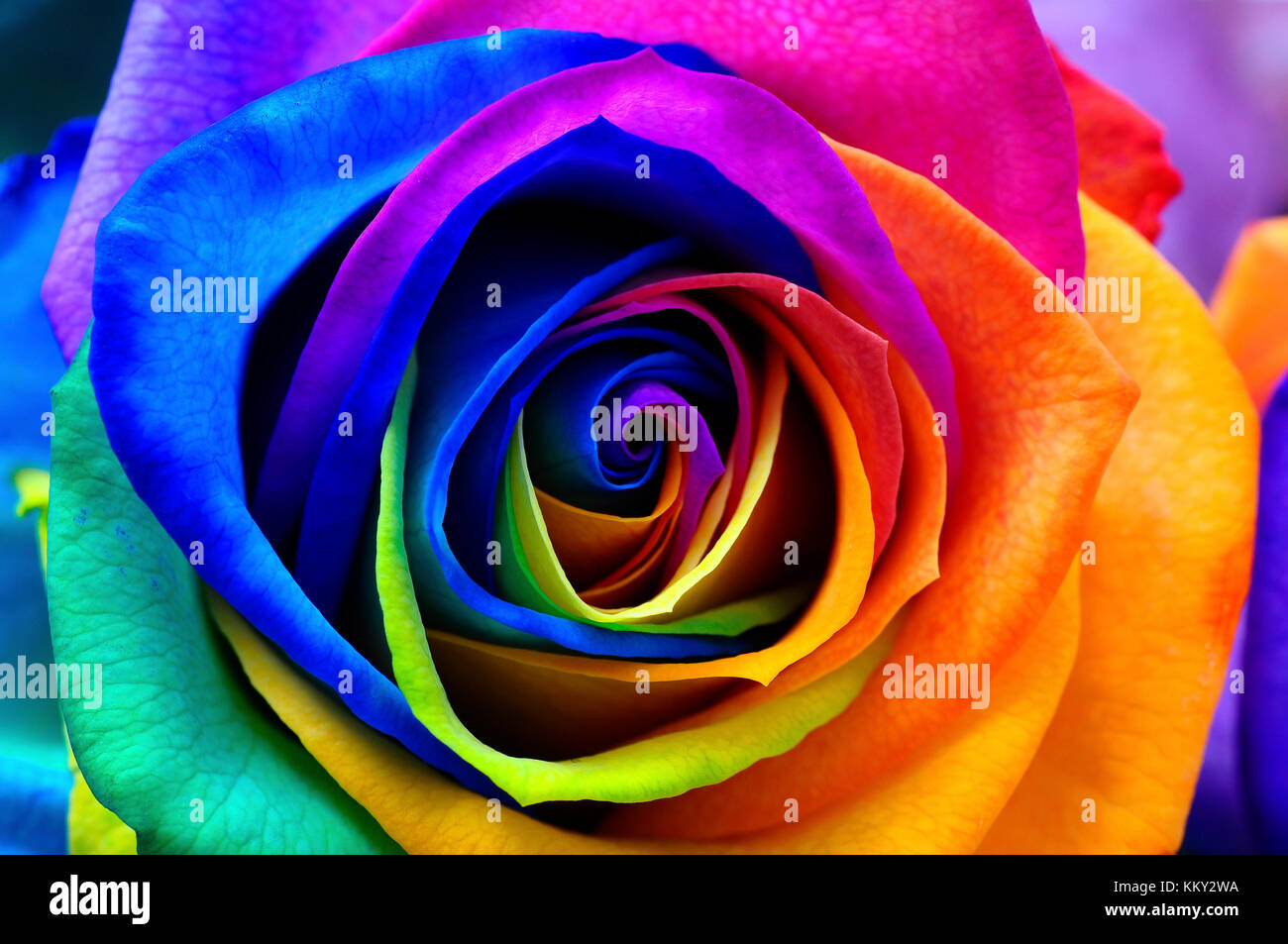 Multicolored rose stock photos multicolored rose stock for Multi colored rose petals
