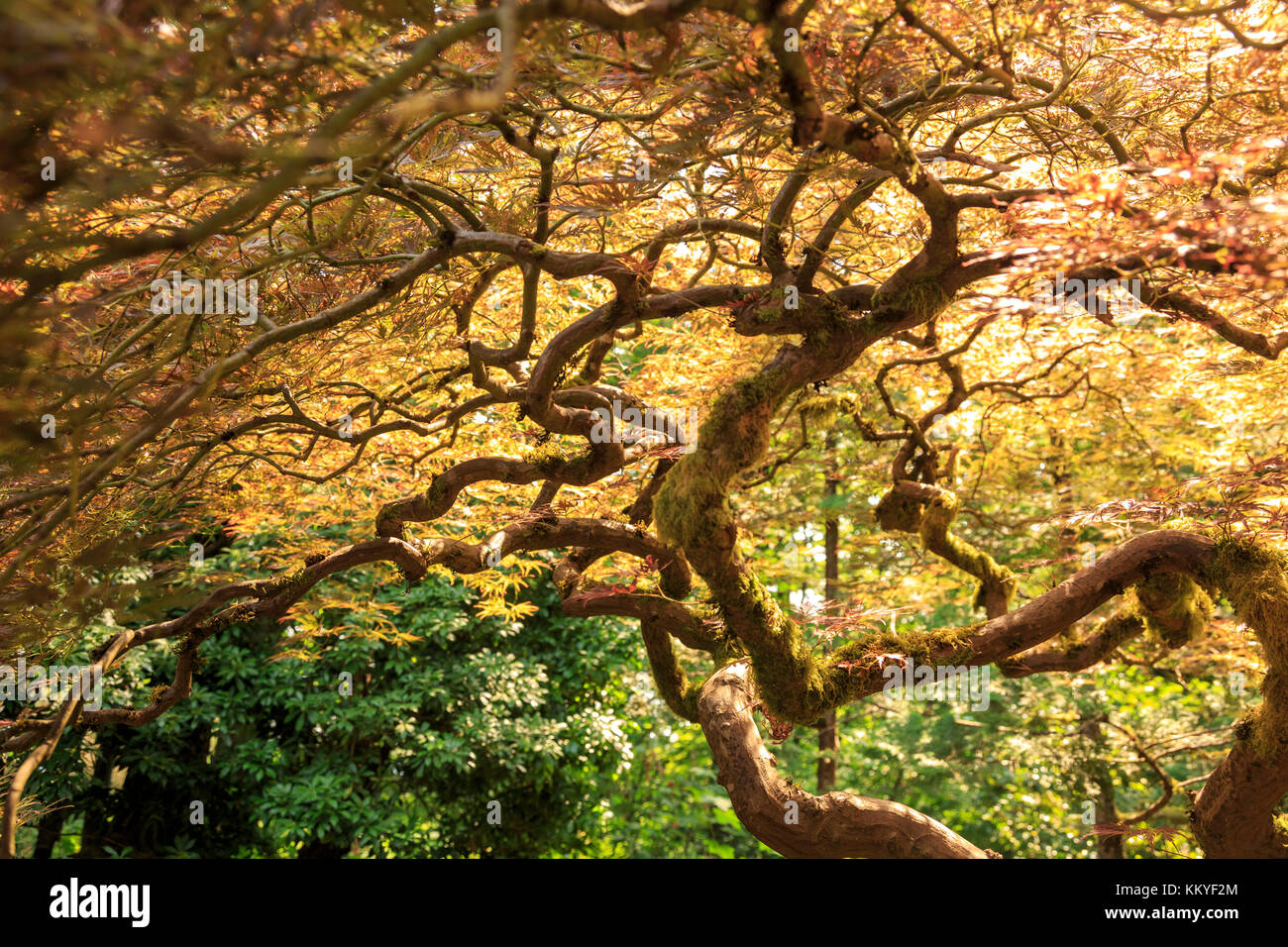 Portland Japanese Garden with Japanese Maple, Portland, Oregon, USA ...