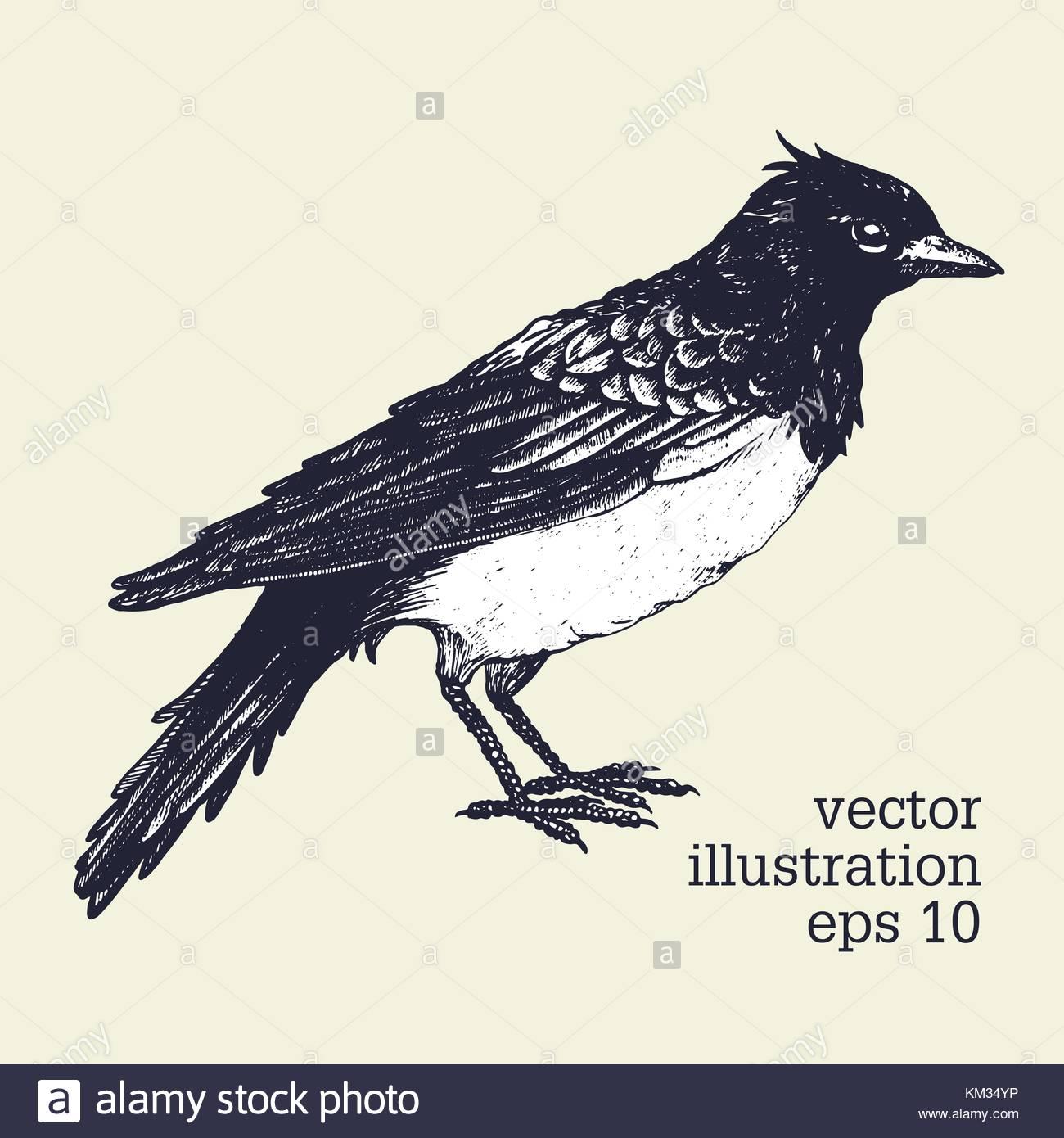 Vector Graphic Illustration Of Bird Skylark Hand Drawn Illistration Retro Style
