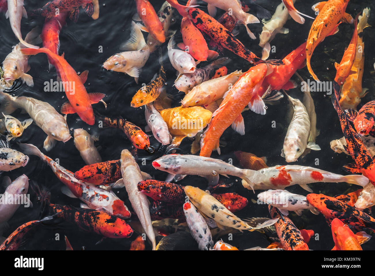 Fish water koi above stock photos fish water koi above for Koi fish water