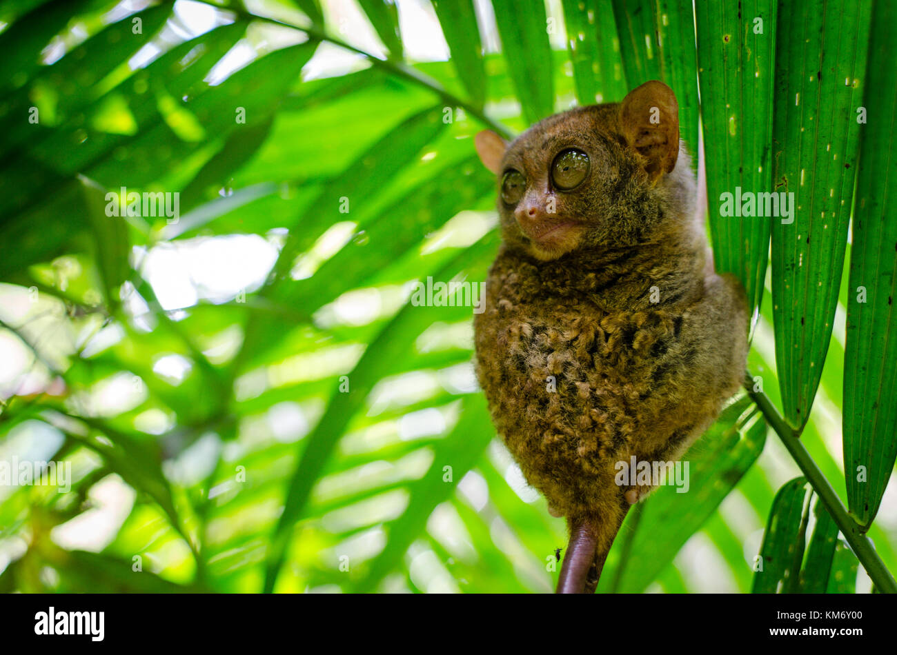 bohol in the eyes of a With its tail longer than its body, it has large brown eyes, hairless ears and long  finger-like claws it has gray fur and a nearly naked tail that is more often than not .