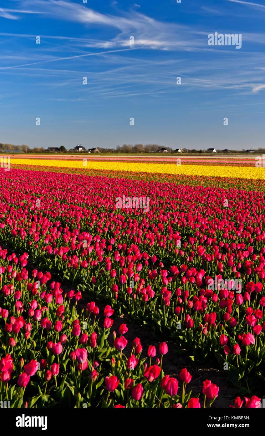 Field of pink tulips of the species lady van eijk for the production field of pink tulips of the species lady van eijk for the production of flower bulbs in the bollenstreek area noordwijkerhout netherlands mightylinksfo