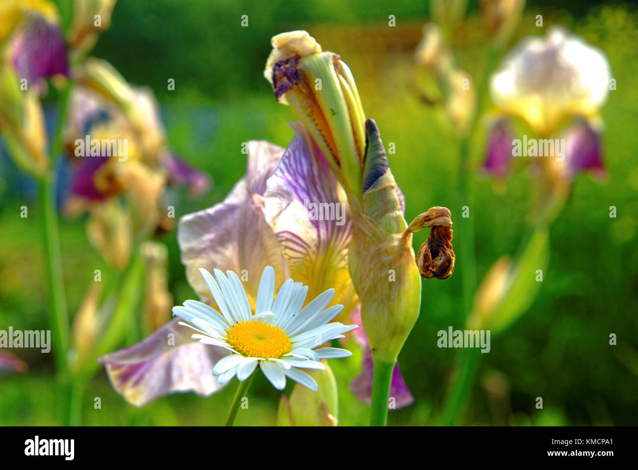 Madonna lily isolated stock photos madonna lily isolated stock lily flowers in the garden in the summer evening russia stock image izmirmasajfo Gallery