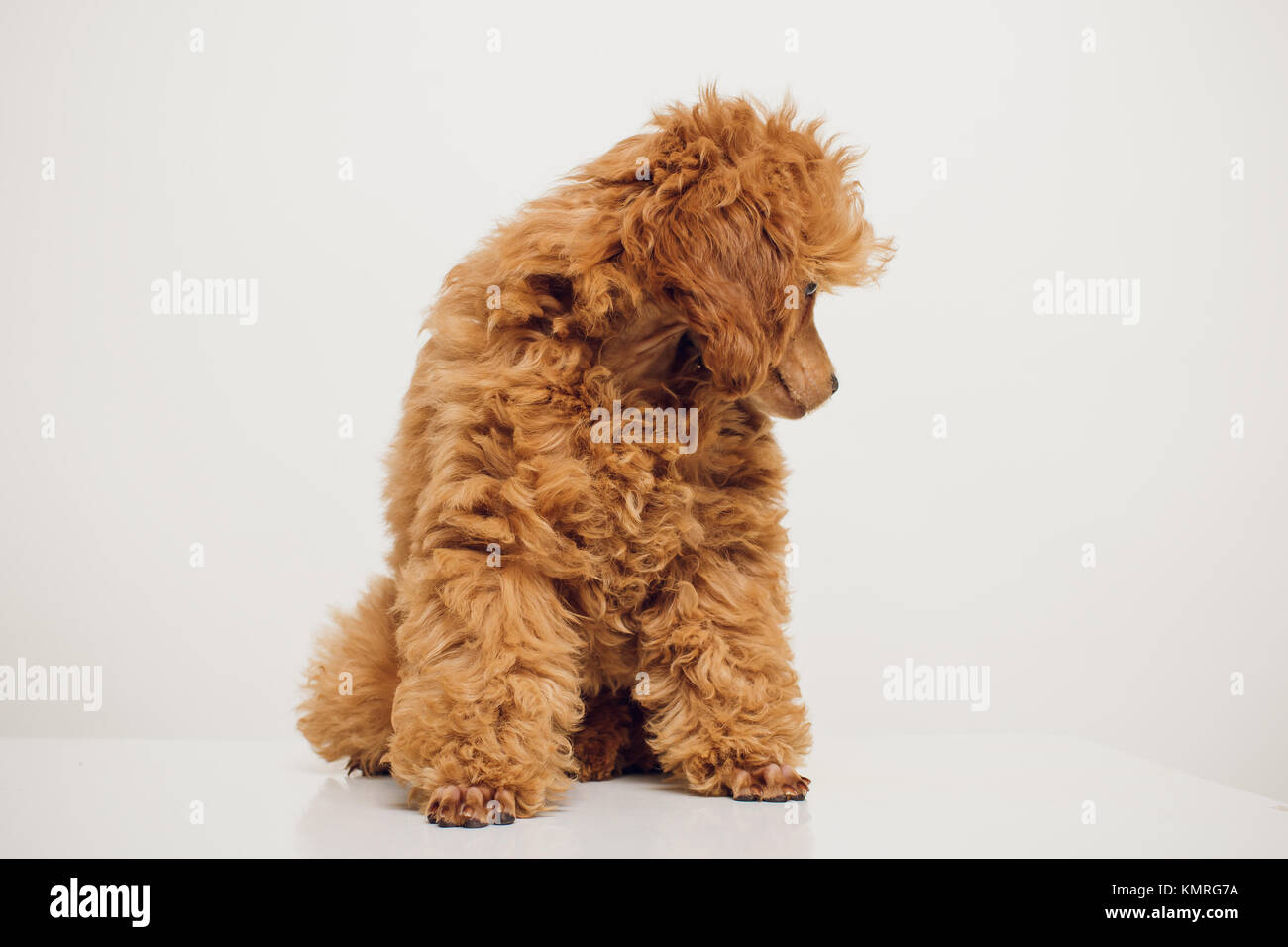 Great Fur Brown Adorable Dog - adorable-mini-toy-poodle-with-golden-brown-fur-on-a-white-background-KMRG7A  Trends_551494  .jpg