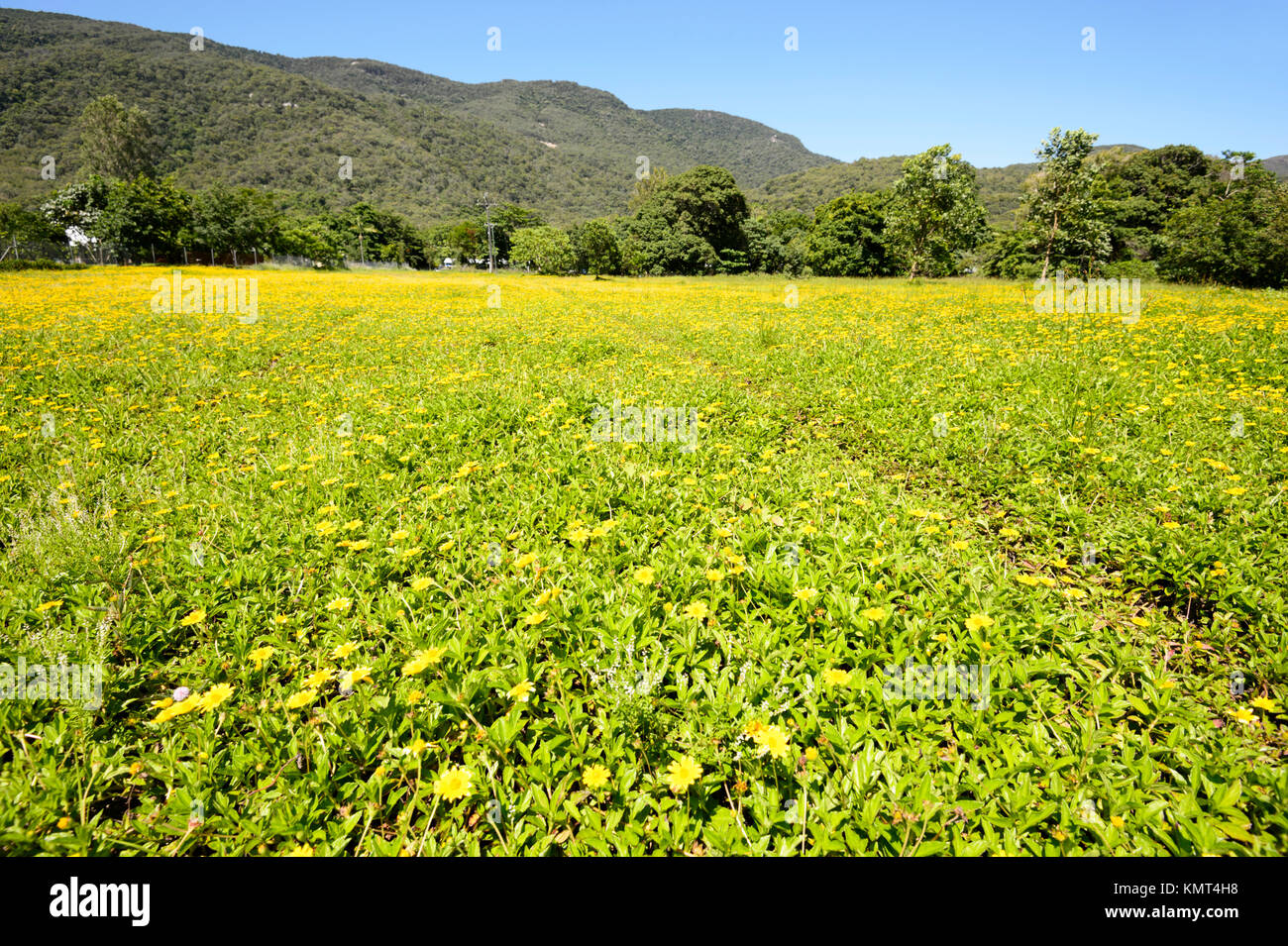 Yellow Flowers Blooming In A Pasture In Summer At Yarrabah