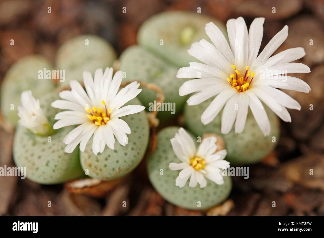 Conophytum jucundum ssp. fragile Stock Photo: 167726465 - Alamy