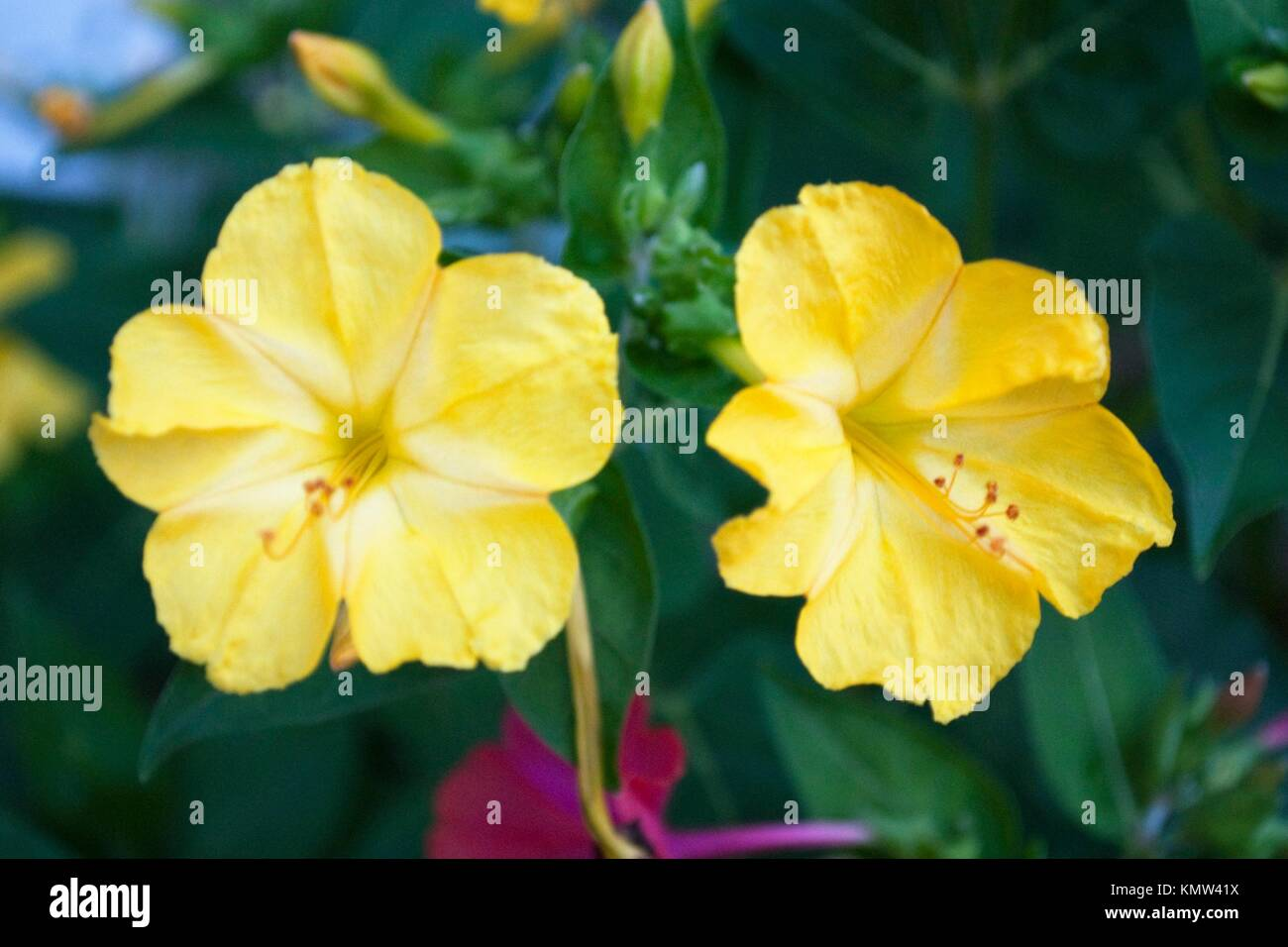 Two yellow four oclock flowers stock photo royalty free image two yellow four oclock flowers mightylinksfo