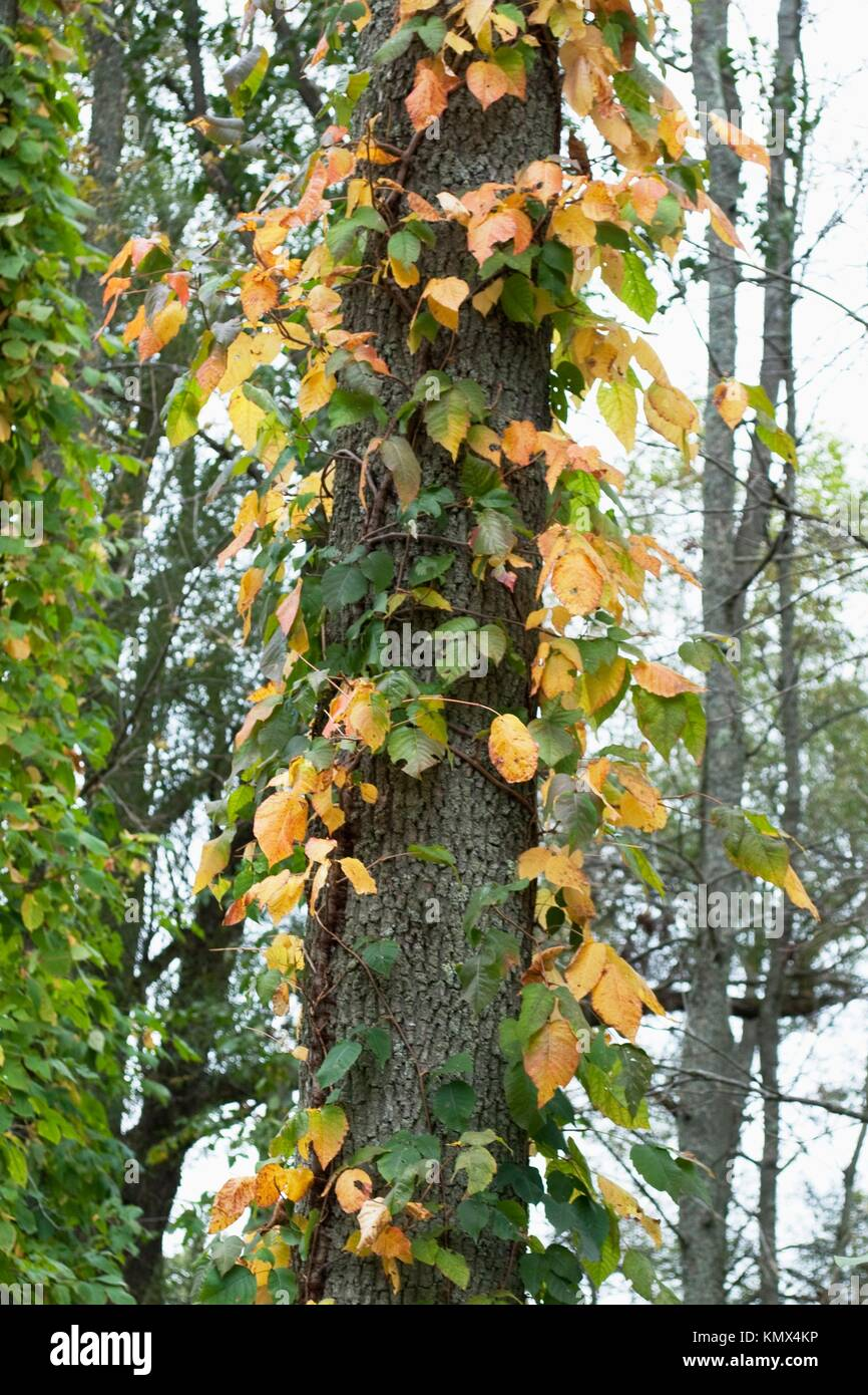 Some Poison Ivy gaining it´s fall color on a tree in the woods Stock ...