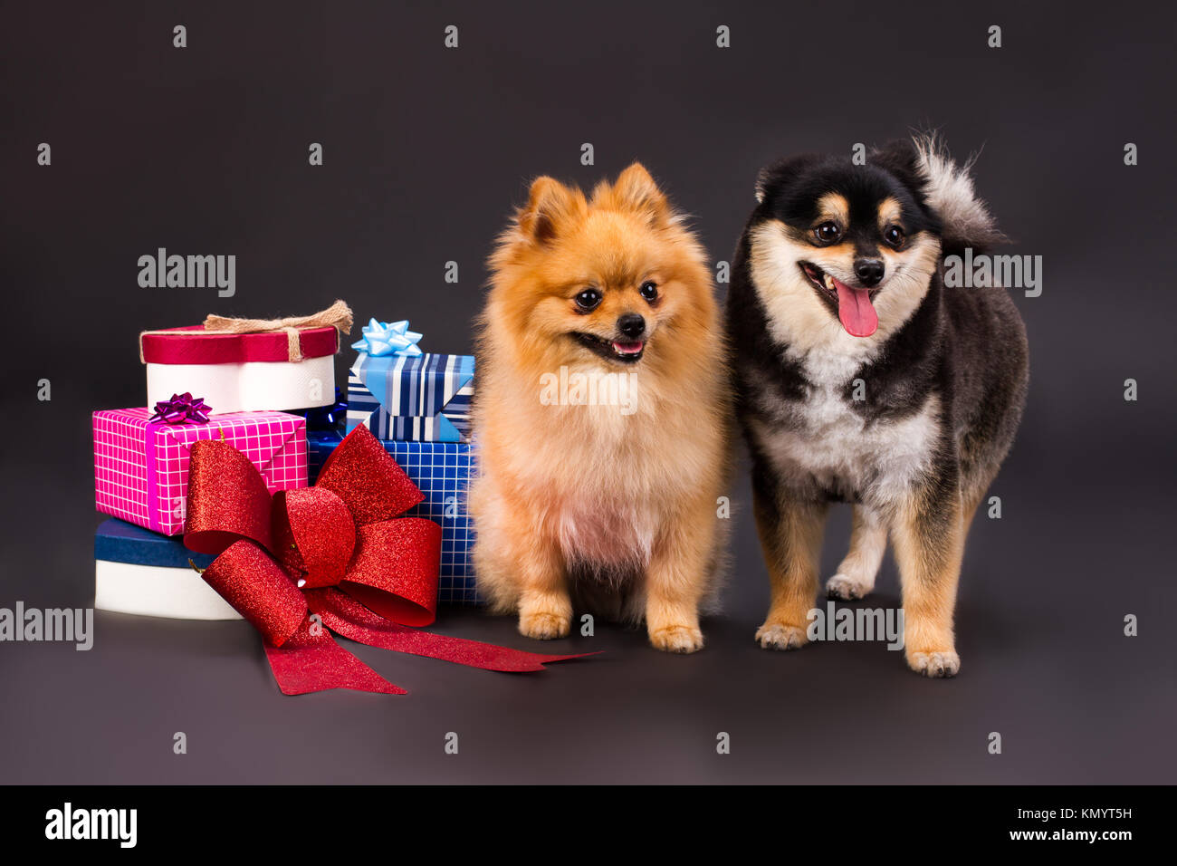 Beautiful Spitz Canine Adorable Dog - adorable-pomeranian-dogs-and-gift-boxes-KMYT5H  HD_412043  .jpg