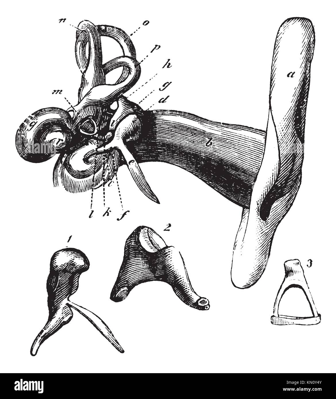 Human Ear Anatomy Or Parts Of The Hearing Aid A Outer Ear B