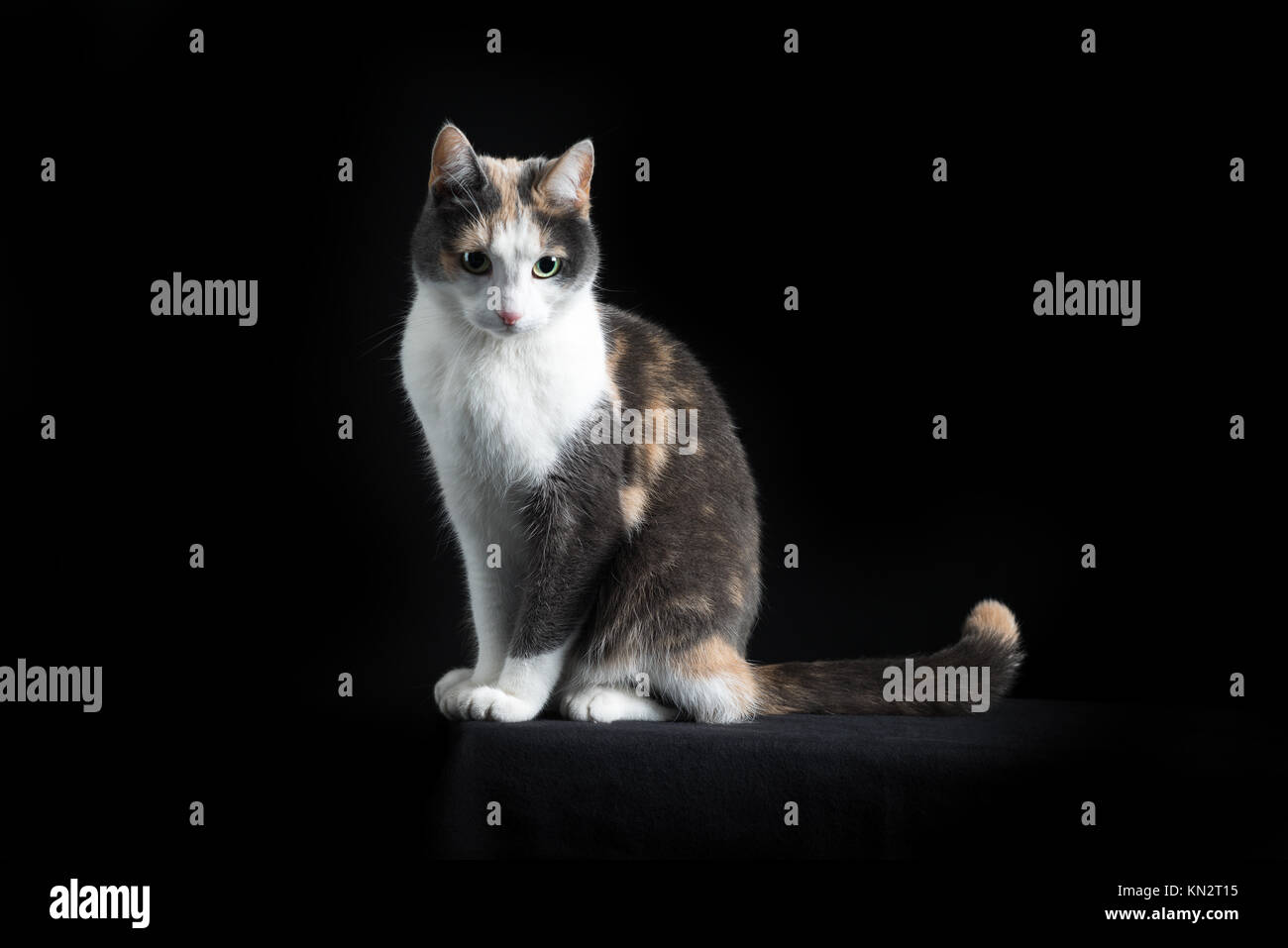 European Shorthair Cat Stock s & European Shorthair Cat Stock