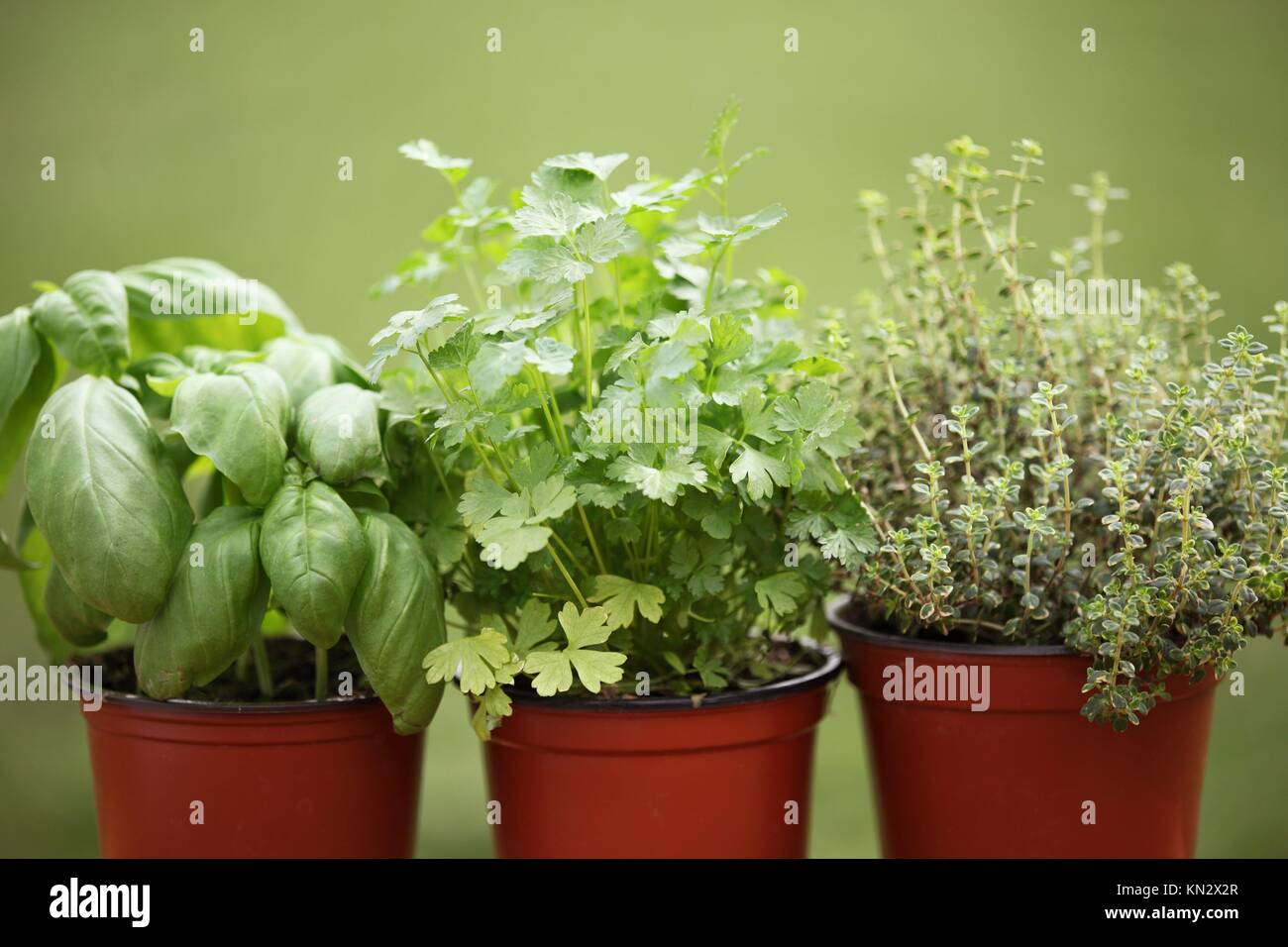 how to grow basil in a pot outdoors