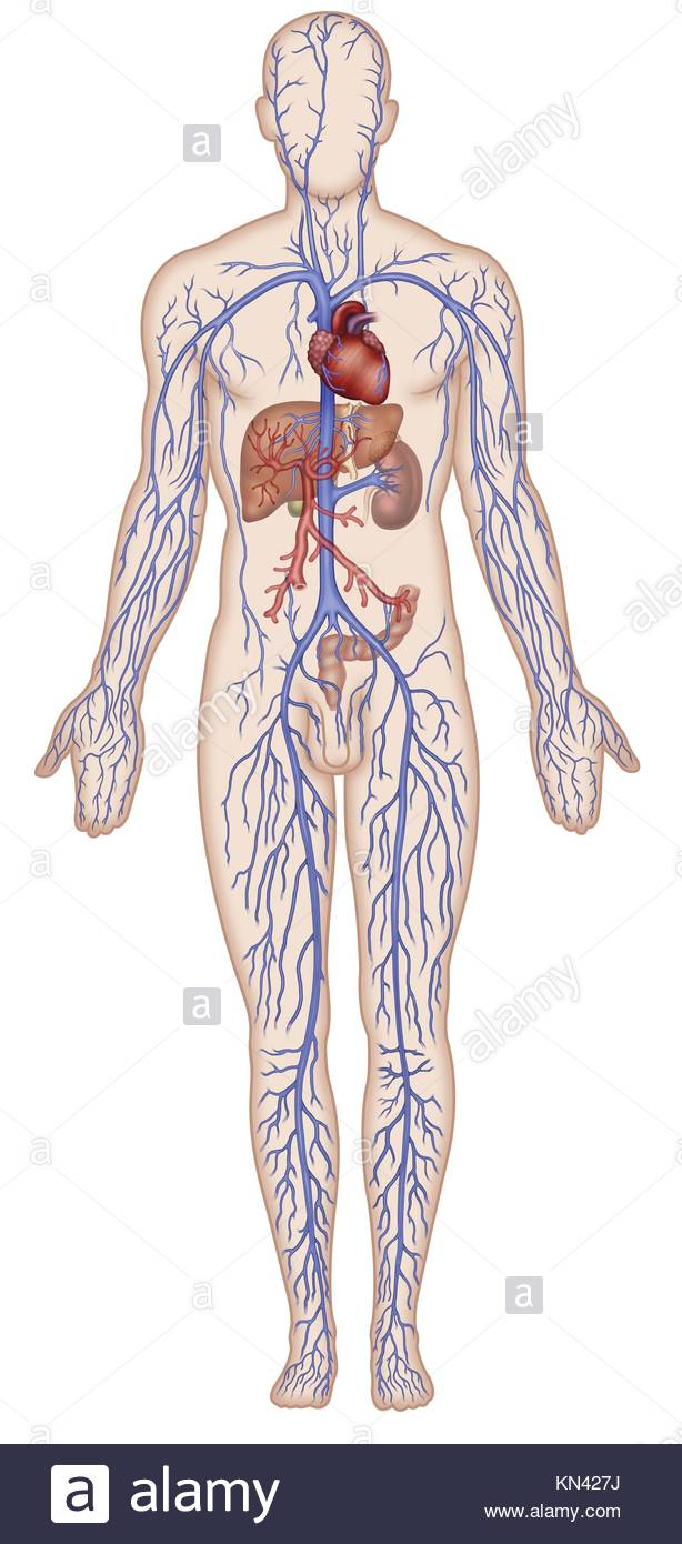 Illustration Human Figure With Venous System Heart Vein System Superior Kn J