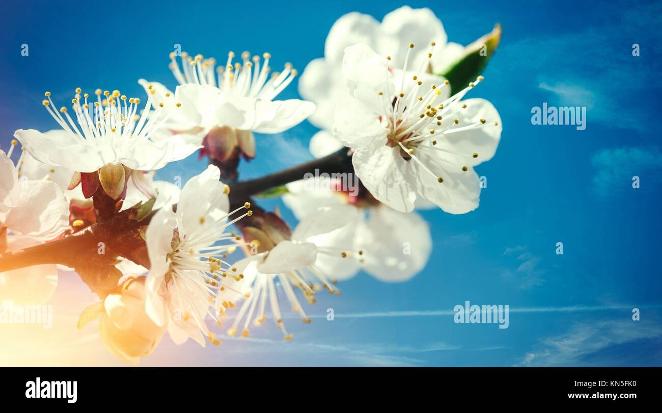 Spring Floral Backgrounds With Apricot Flowers Against Blue Skies