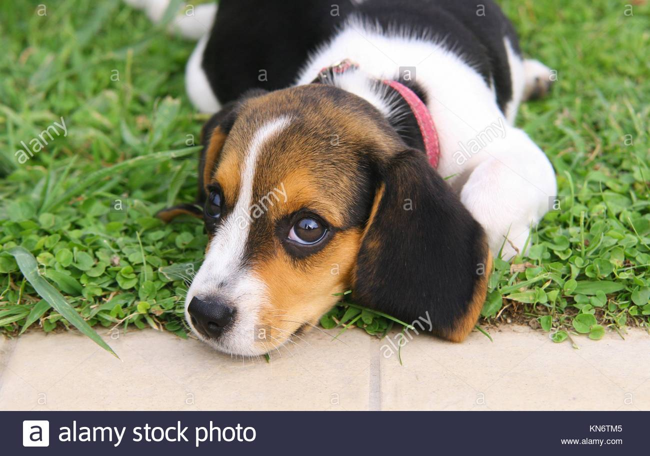Cute beagle puppy in the grass stock photo 167952181 alamy cute beagle puppy in the grass voltagebd Image collections