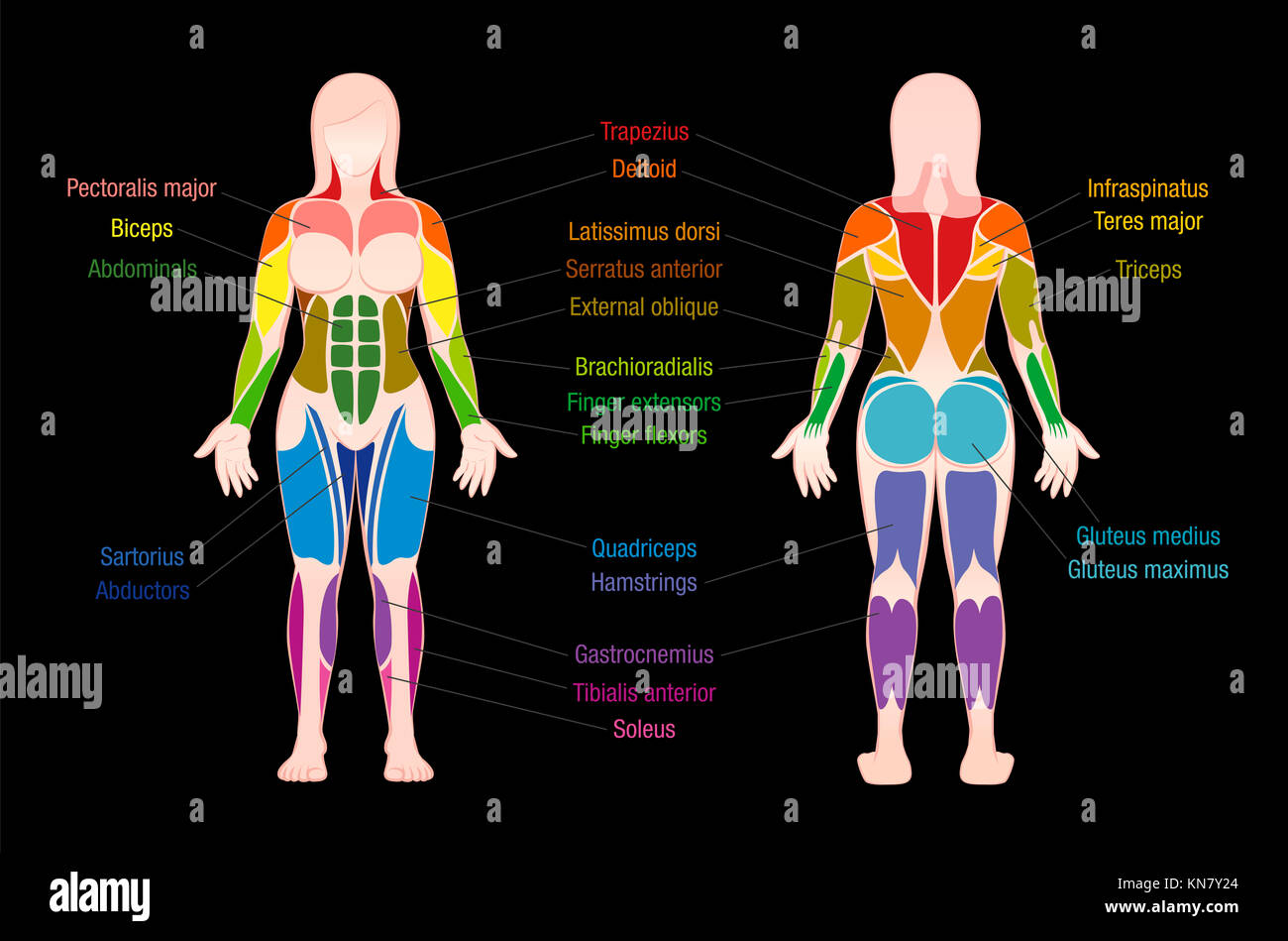 Muscle Chart With Most Important Muscles Of The Female Body