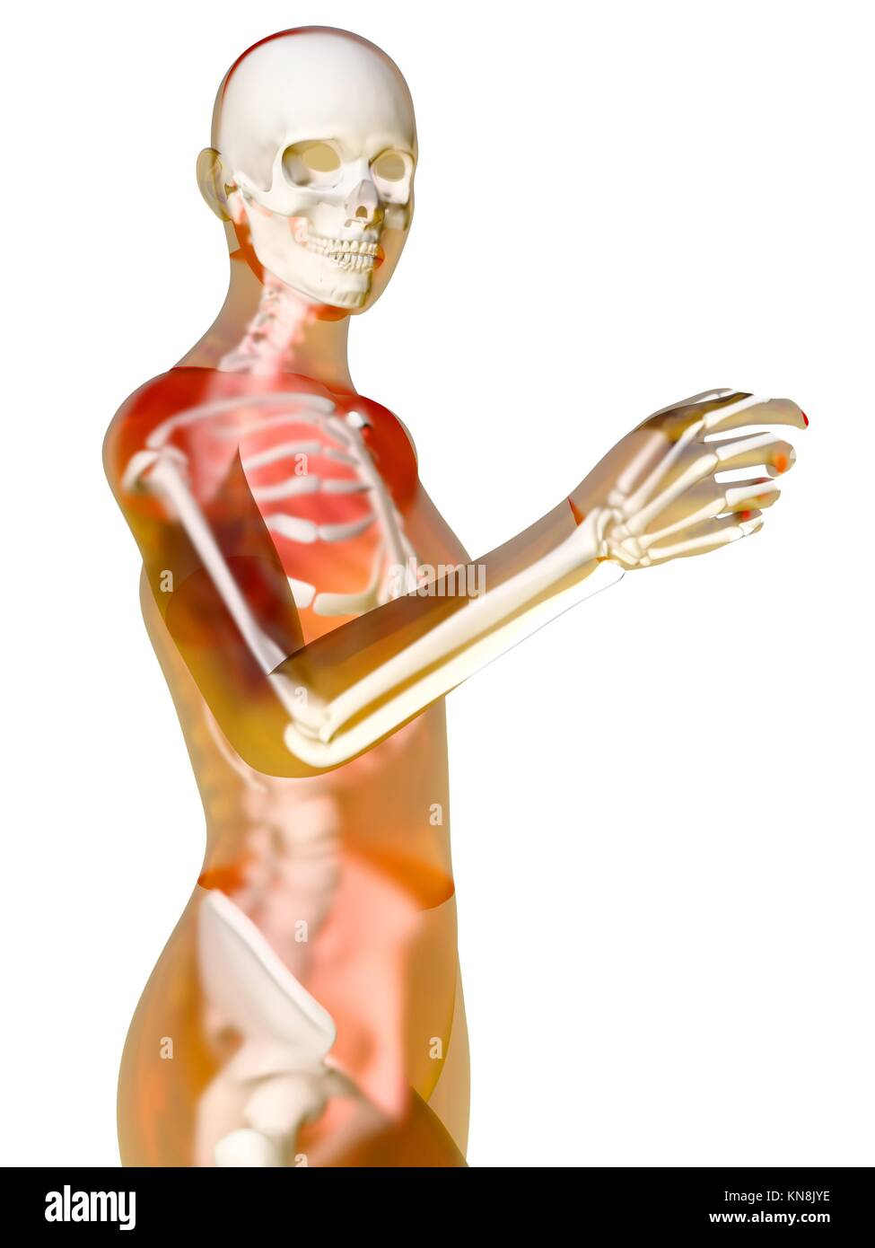 Female Anatomy Visualization 3d Illustration Isolated On White