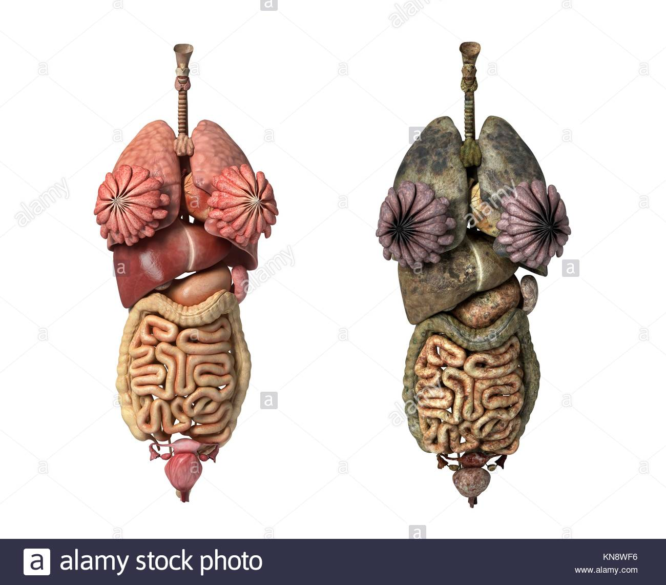 Photorealistic 3D rendering, of Female full internal organs, front ...