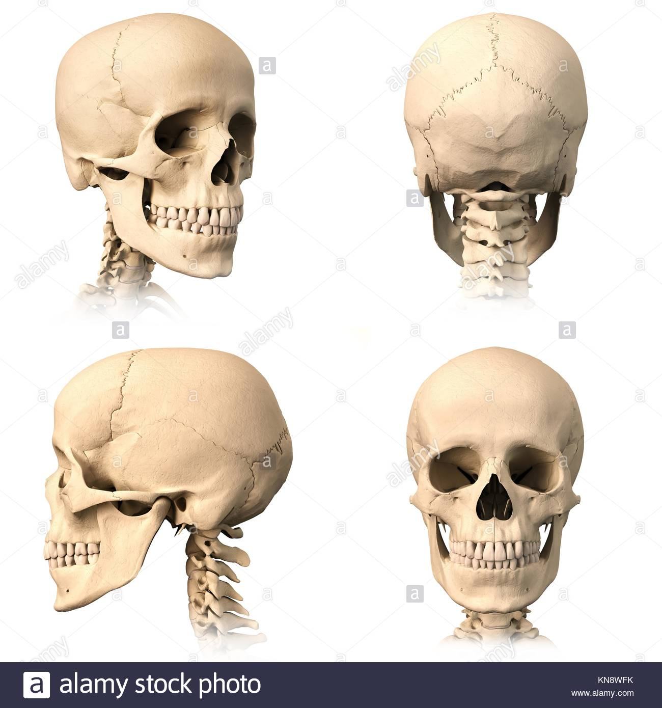 Very detailed and scientifically correct human skull. Three Stock ...
