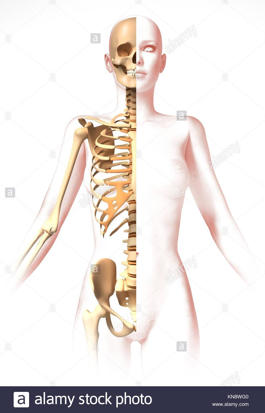 Woman Body With Skeleton Anatomy Image Stylized Look Clipping