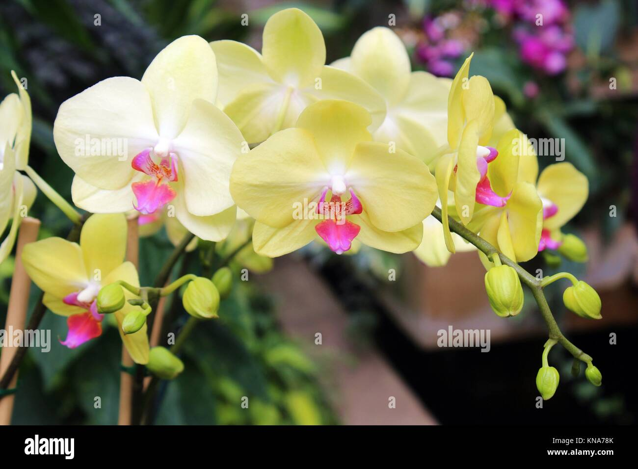 a cluster of blooming yellow phalaenopsis orchids stock photo