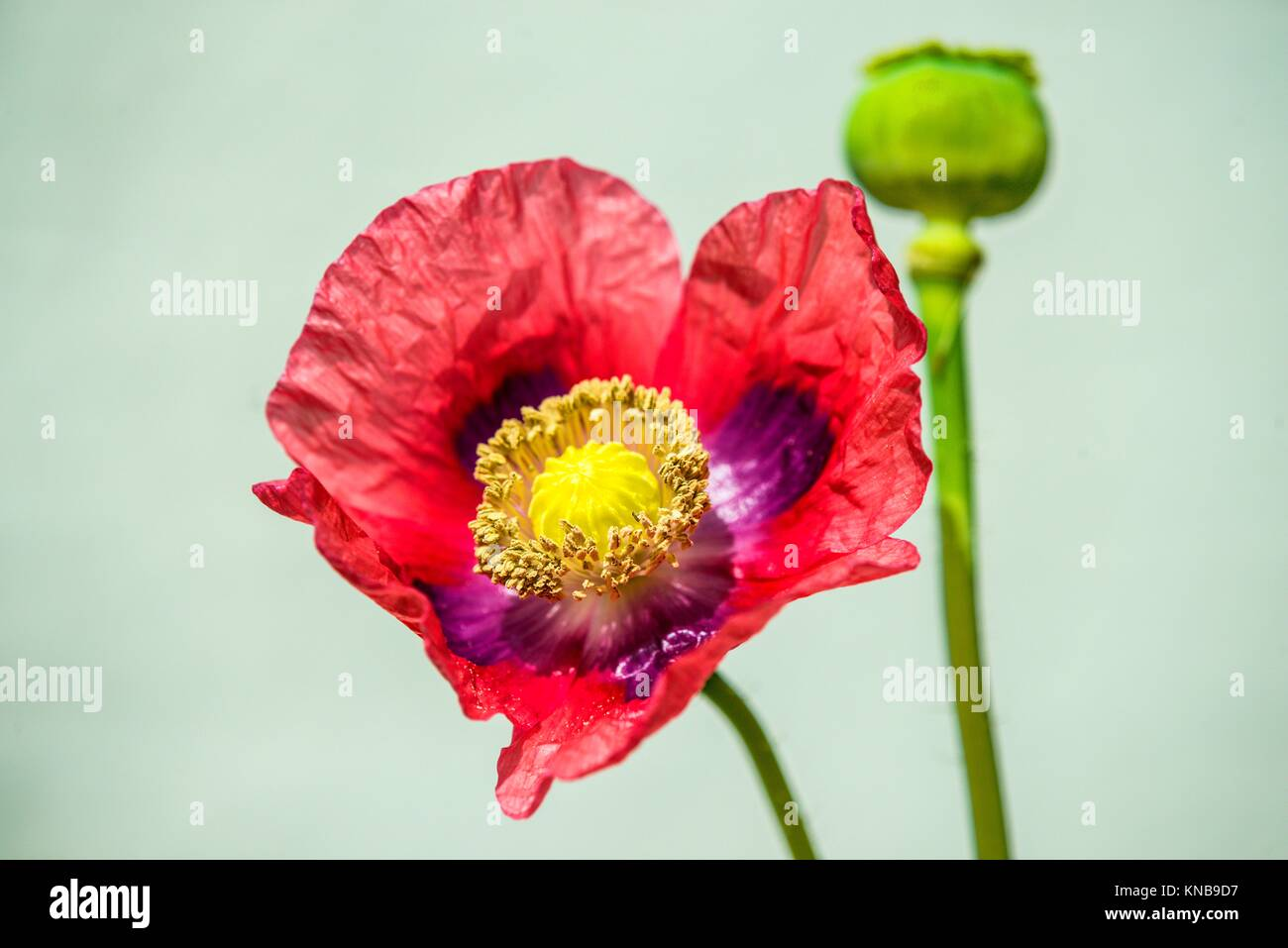 Opium poppy flower and capsule stock photo 168049987 alamy opium poppy flower and capsule mightylinksfo