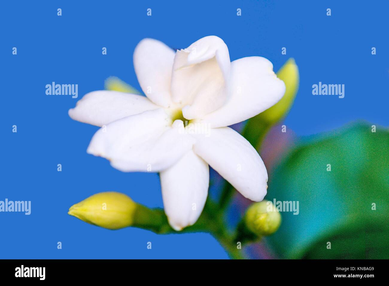 Common Jasmine Flower Closeup In Germany Stock Photo 168050857
