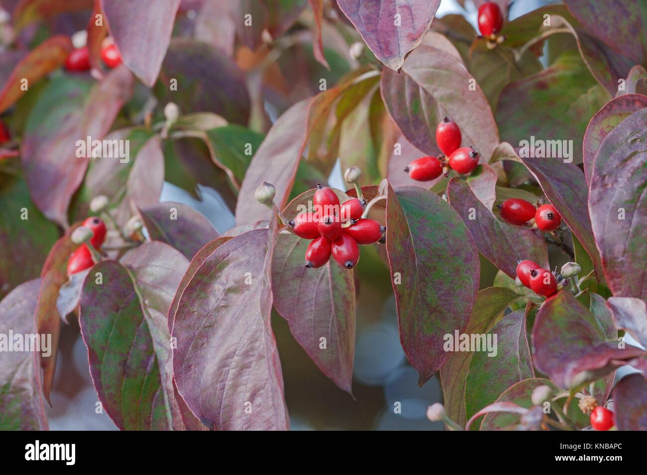 Flowering Dogwood (Cornus florida). Called American Dogwood and ...