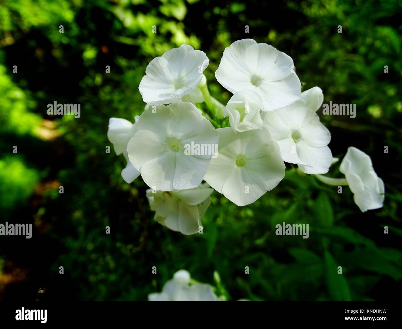 Rare White Rocket Flowers In Summer Pennsylvania Usa Stock Photo