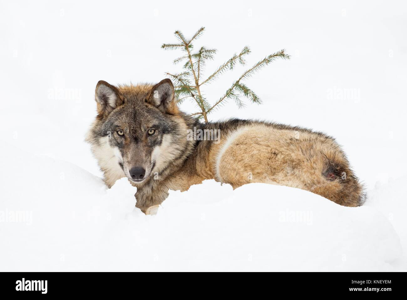 Wolf Germany wolf canis lupus bavarian forest national park germany stock
