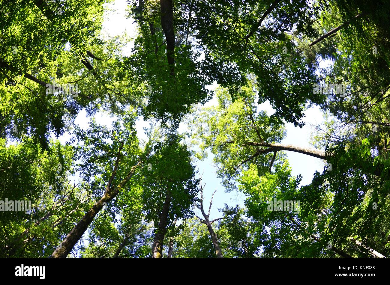 A forest canopy in a fisheye view Pennsylvania USA. - Stock Image & Forest Canopy Fisheye Stock Photos u0026 Forest Canopy Fisheye Stock ...