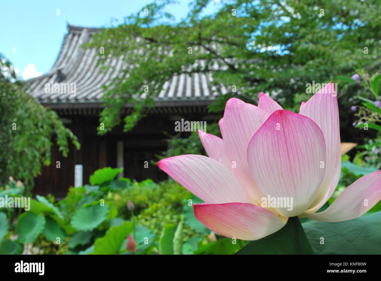 Lotus flower in full bloom with temple in the background lotus flower in full bloom with temple in the background symbolizing religion buddhism purity serenity zen the summer season buddha enlightenm izmirmasajfo