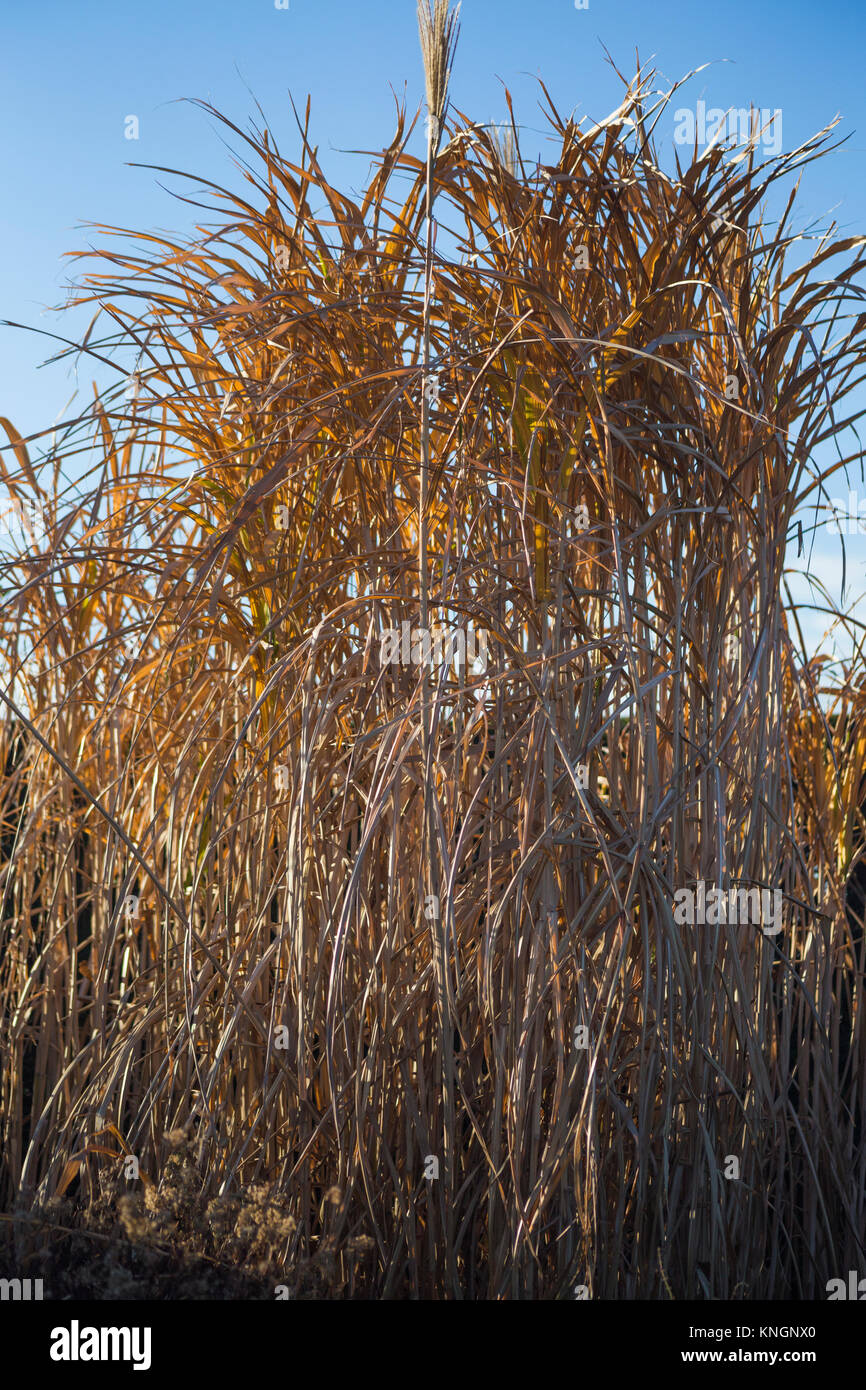 miscanthus giganteus stock photos miscanthus giganteus stock images alamy. Black Bedroom Furniture Sets. Home Design Ideas