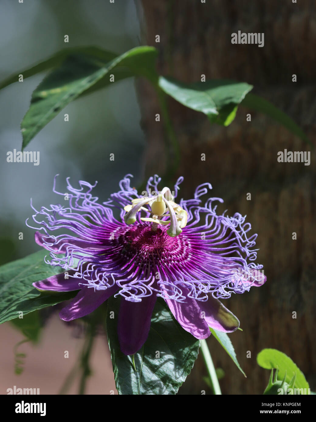 The Unique Looking Purple Passionflower Plant Is A Fast Growing