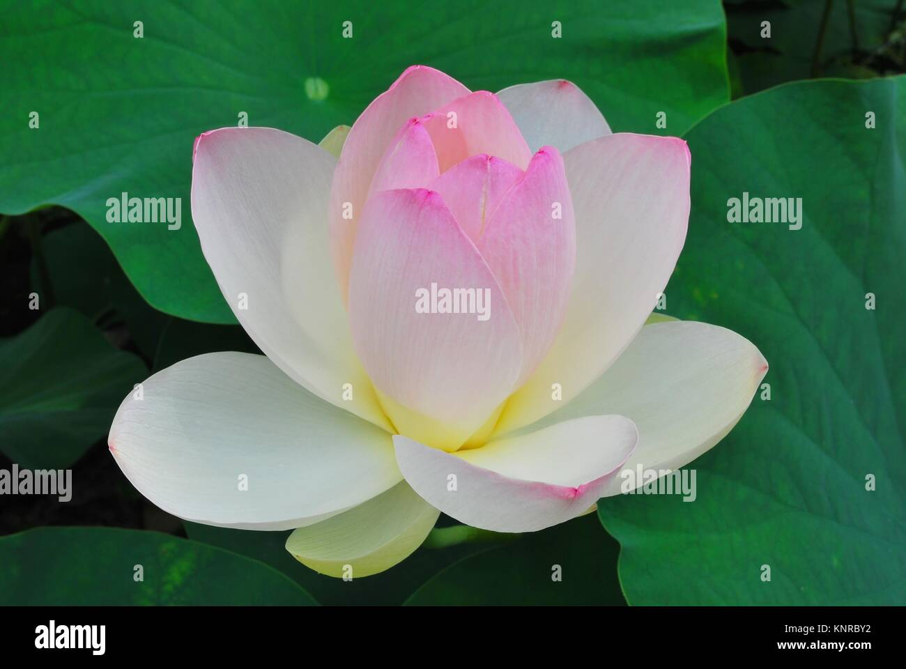 Lotus flower in full bloom symbolizing religion buddhism purity lotus flower in full bloom symbolizing religion buddhism purity serenity zen the summer season buddha enlightenment bliss joy and other abst mightylinksfo