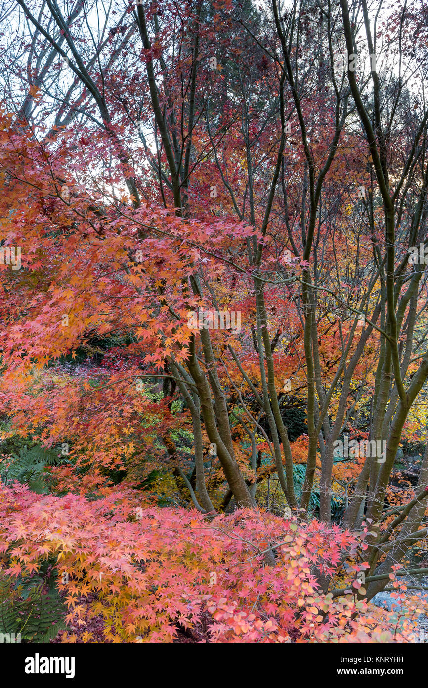 Japanese maples (Acer palmatum cvs) in the in the fall (autumn) in ...
