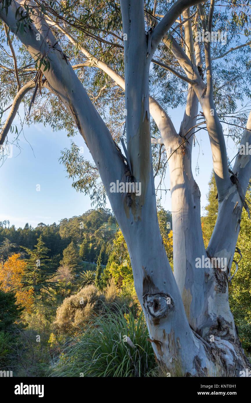View Across The Gardens Of The University Of California Botanical Garden At  Berkeley With A Mature Snow Gum, Eucalyptus Pauciflora, In The Foregroun