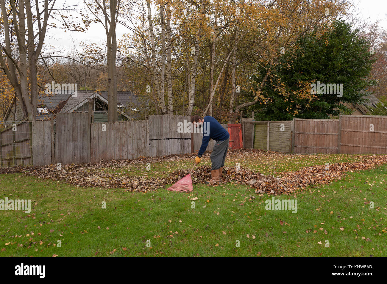 Bearded man sweeping up leaves from neighbours trees that have ...