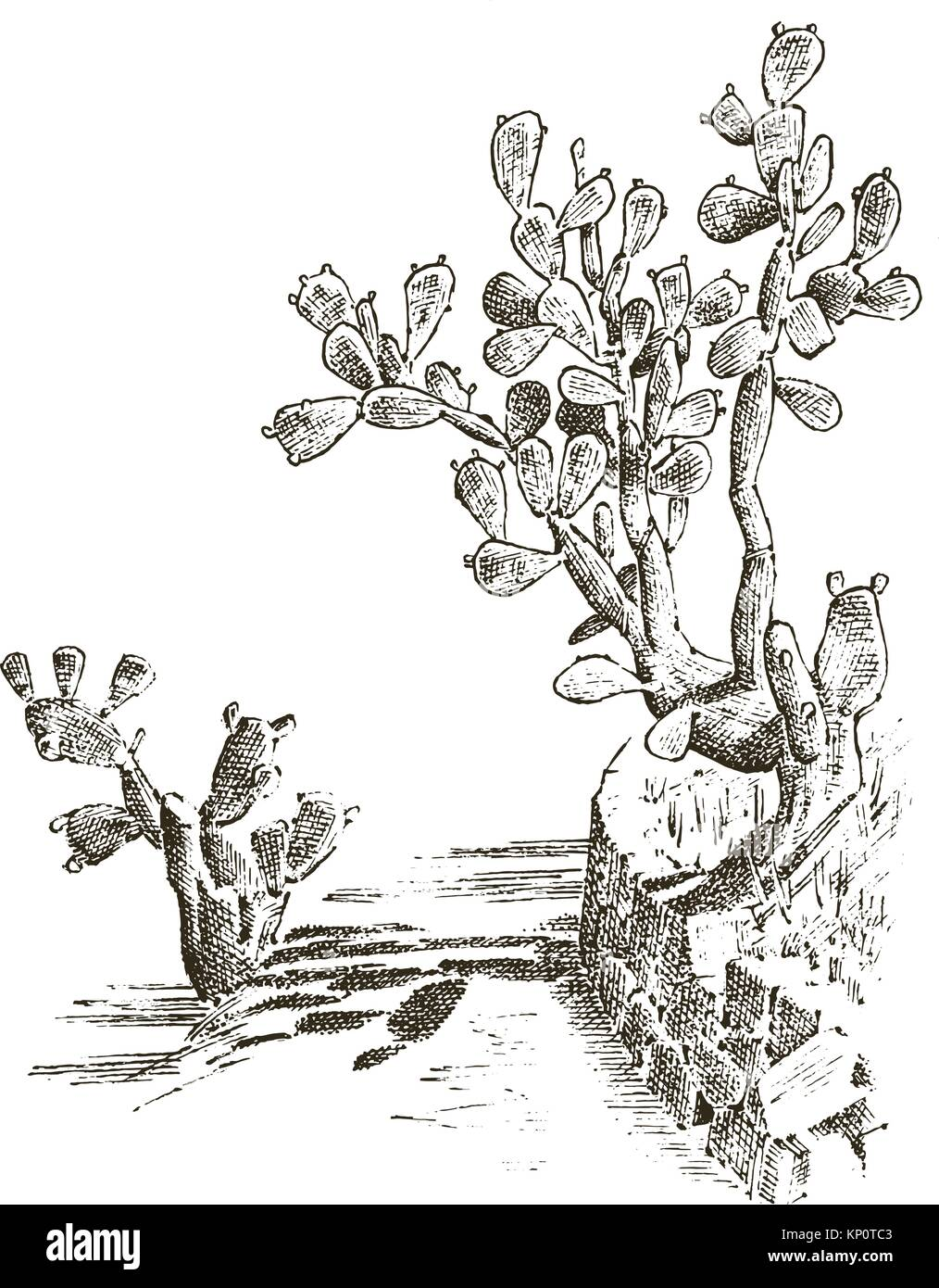 Prickly Pear Cactus Plants Engraved Hand Drawn In Old Sketch Vintage Style Mexican Opuntia Flora And Fauna Botanical Garden