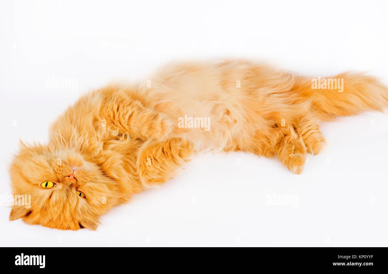 Persian Cat Doll Face Stock s & Persian Cat Doll Face Stock