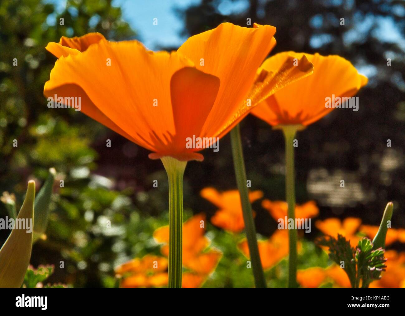 California Golden Poppy Eschscholzia Californica Is The State