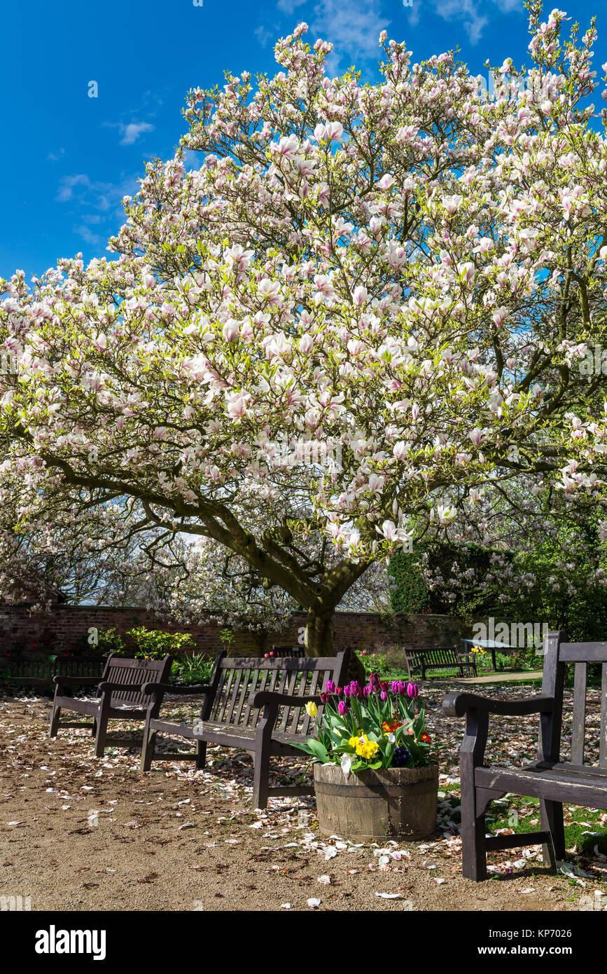 Beautiful light pink or purple magnolia tree with blooming flowers beautiful light pink or purple magnolia tree with blooming flowers during springtime in english garden uk mightylinksfo