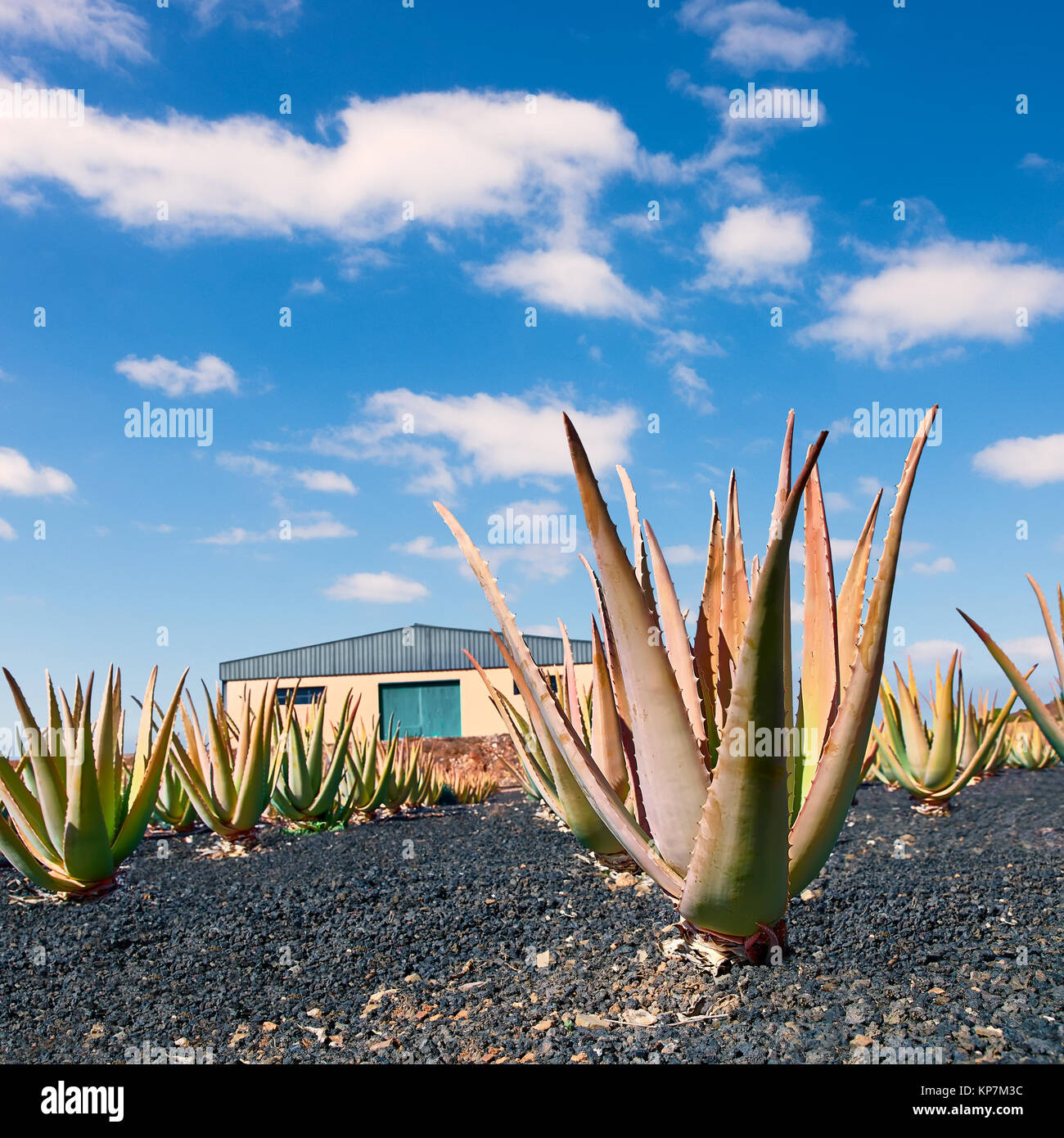 aloe vera farm stock photos aloe vera farm stock images alamy. Black Bedroom Furniture Sets. Home Design Ideas